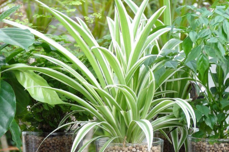 オリヅルランのハイドロカルチャー。オリヅルランは初心者にも育てやすくインテリア向けの観葉植物