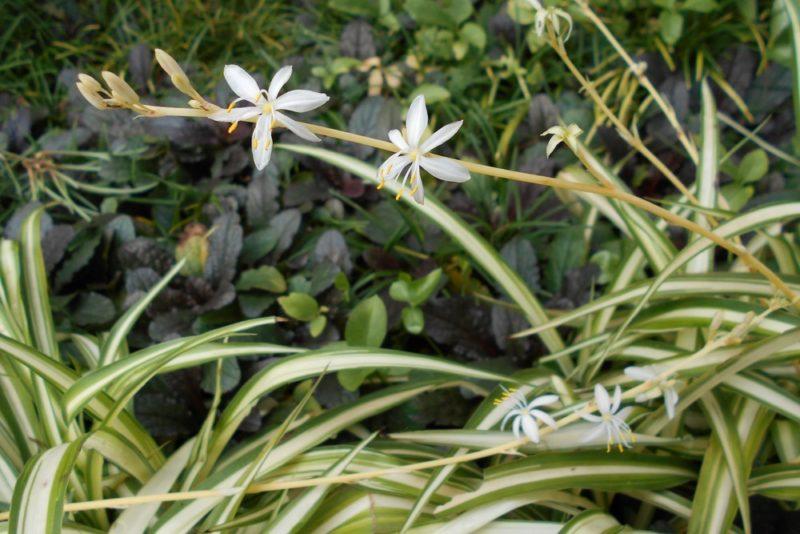 オリヅルランの花の写真。オリヅルランの花は白く小さい花が咲く