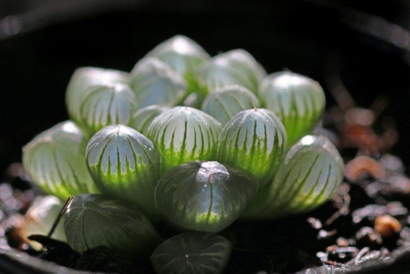 多肉植物のハオルチア・トルンカータ