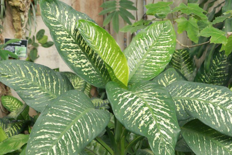 ディフェンバキア・アモエナ・トロピックスノーの巨大な株。売られている鉢植えサイズとは大違いだ