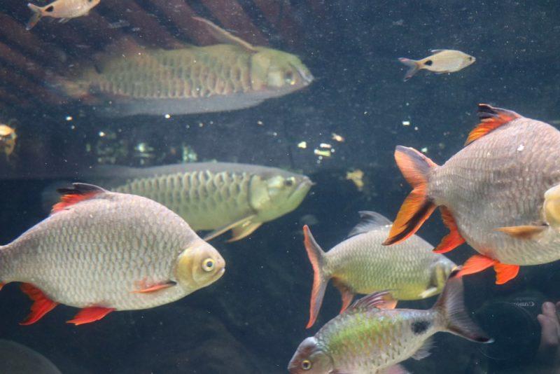 熱帯環境植物館の水辺を悠々と泳ぐアジアアロワナ
