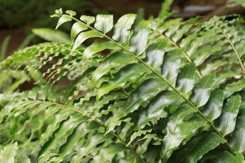 ヤブソテツの仲間だと思われるシダ植物。熱帯環境植物館は勝手に自生しているシダ植物が多い