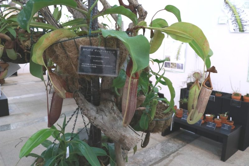 大きな捕虫袋を付けた食虫植物のウツボカズラ(ネペンテス)