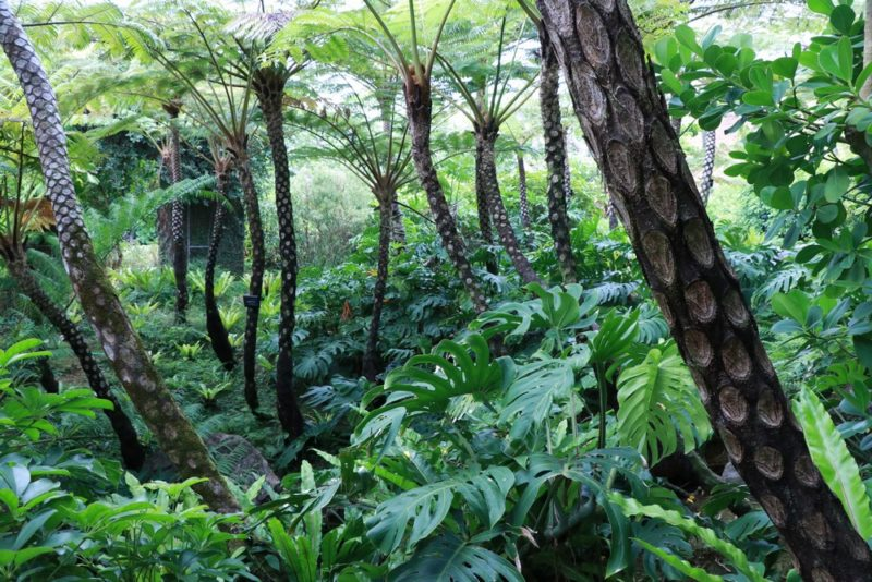 ヘゴの木の群生。熱帯ドリームセンター内には原生林を再現したようなスペースがあり絶景