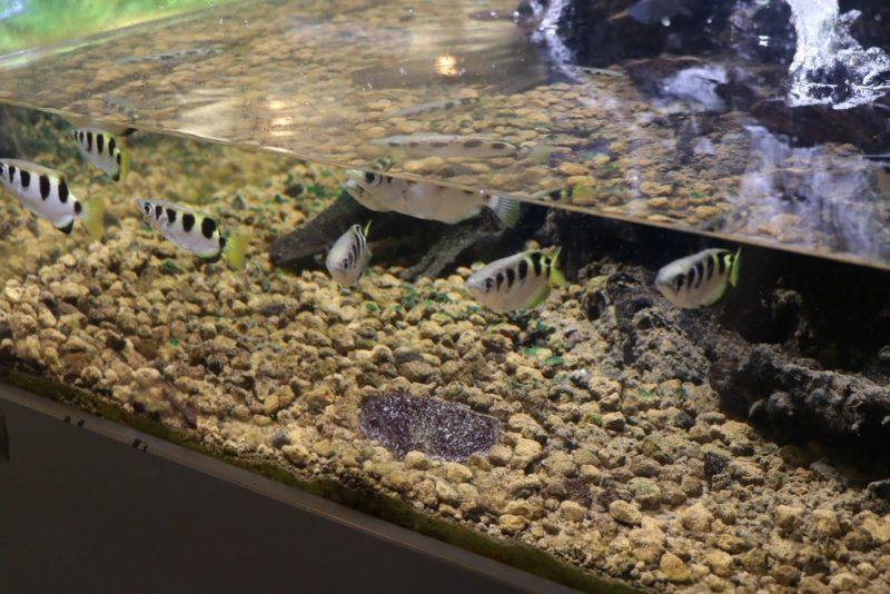 熱帯環境植物館のミニ水族館で飼育されているテッポウウオ