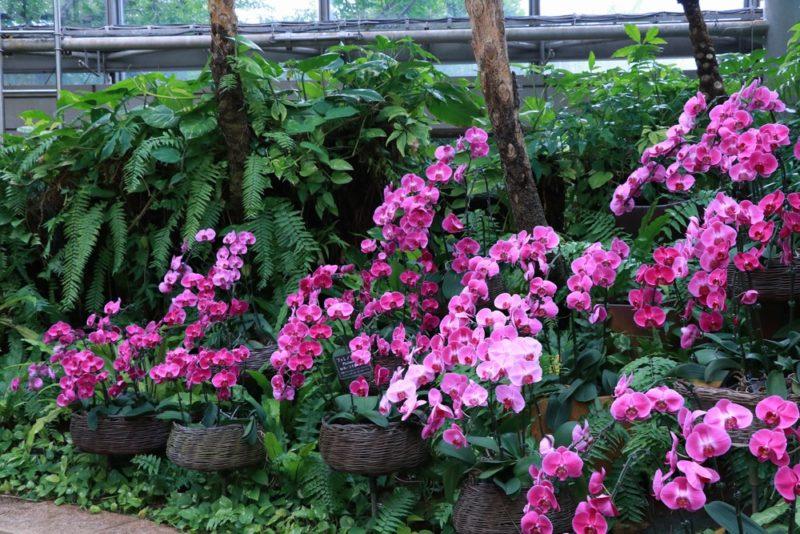 満開の胡蝶蘭(コチョウラン)。熱帯ドリームセンターは胡蝶蘭の種類も多い