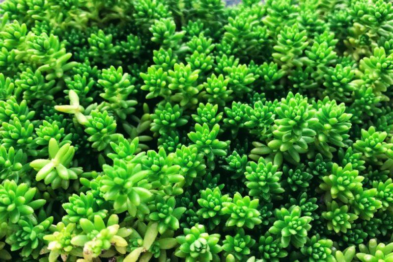 緑色のセダム・グリーンペット。グランドカバーにも使える多肉植物