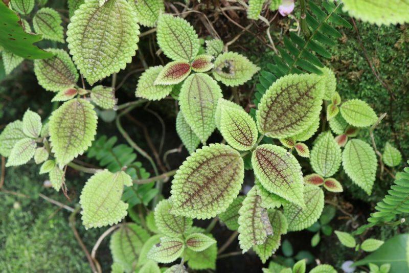 名称不明の変わった色合いの植物。シソっぽい葉にライトグリーンの葉が綺麗