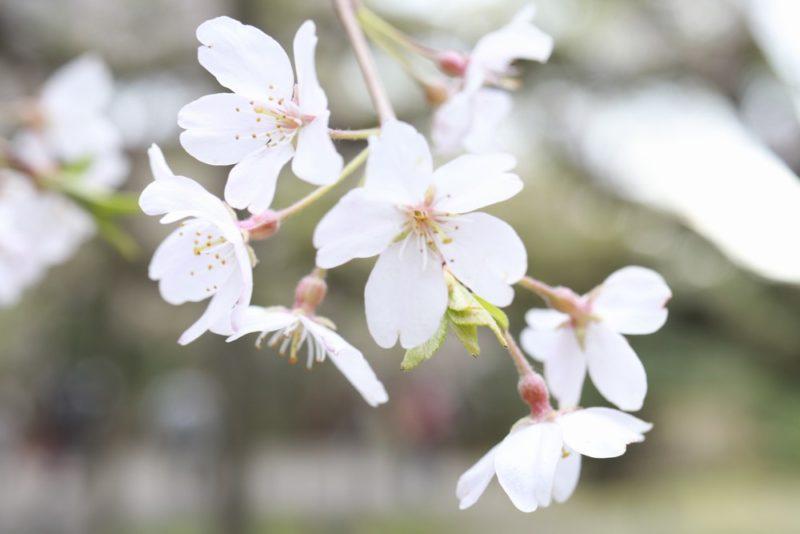 六義園のしだれ桜のアップ