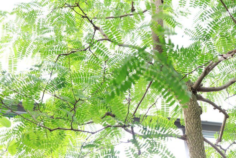 マメ科ジャケツイバラ亜科タマリンド属のタマリンドの木。豆だけどフルーツとして食べられている