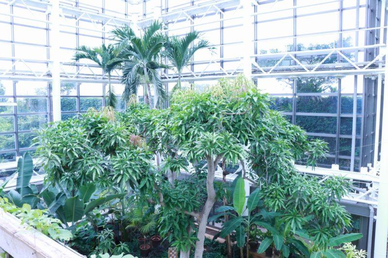温室内に生える巨大なマンゴーの木