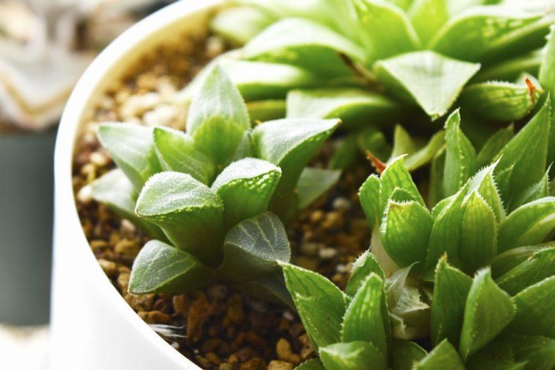 人気の多肉植物ハオルチアを寄せ植えした鉢