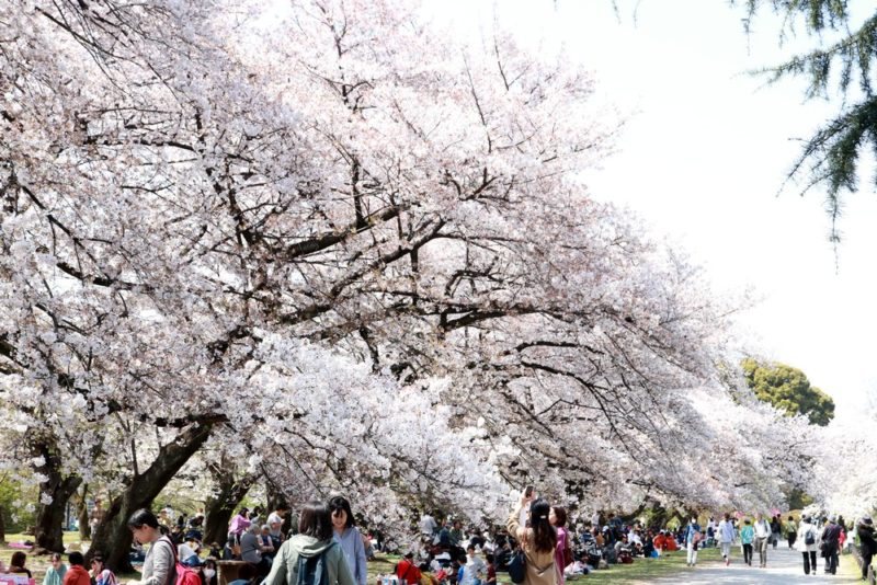 小石川植物園の満開の桜