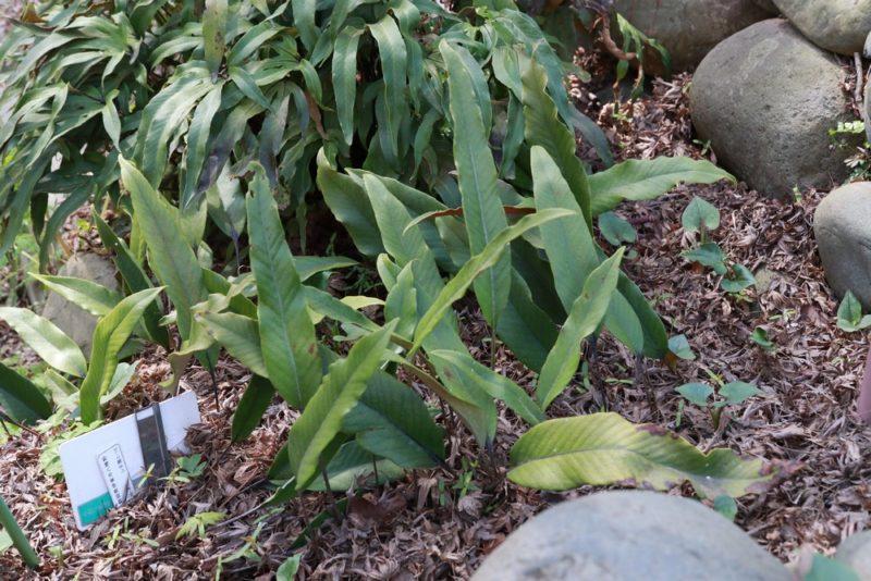 小石川植物園のヒトツバ