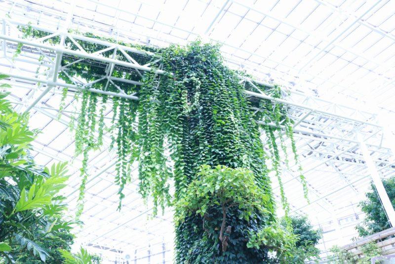 熱帯ドリームセンターの温室は天井が高い。柱に絡みついた蔦がいい味を出している