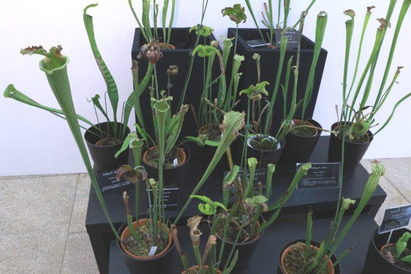 大小様々な食虫植物のサラセニア