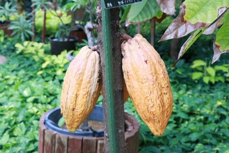 カカオの実。熱帯ドリームセンターでは沢山のカカオの果実が実っていた