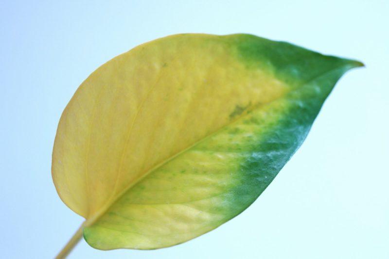 根詰まりして黄色くなったポトスの葉