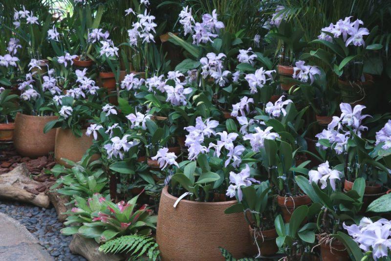 カトレアが沢山植えられ綺麗な花を咲かせていた