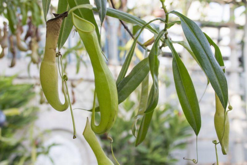 捕虫袋を沢山付けた食虫植物のウツボカズラ(ネペンテス)