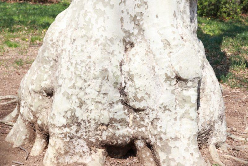 スズカケノキは丸みのある変わった樹形をしている