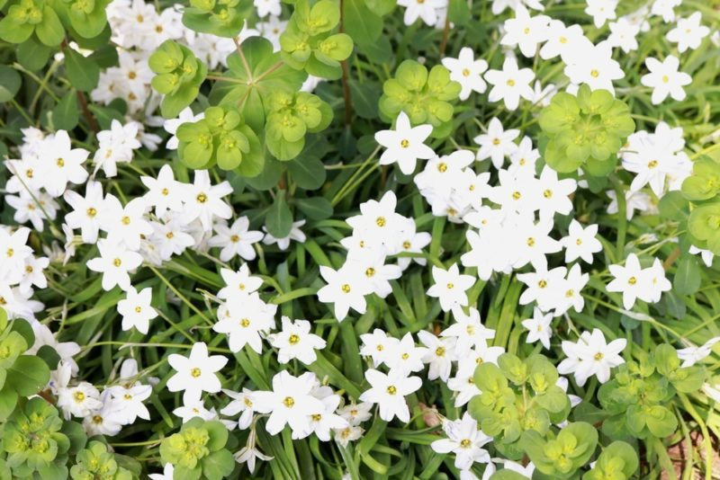 小石川植物園のトウダイグサと謎の白い花
