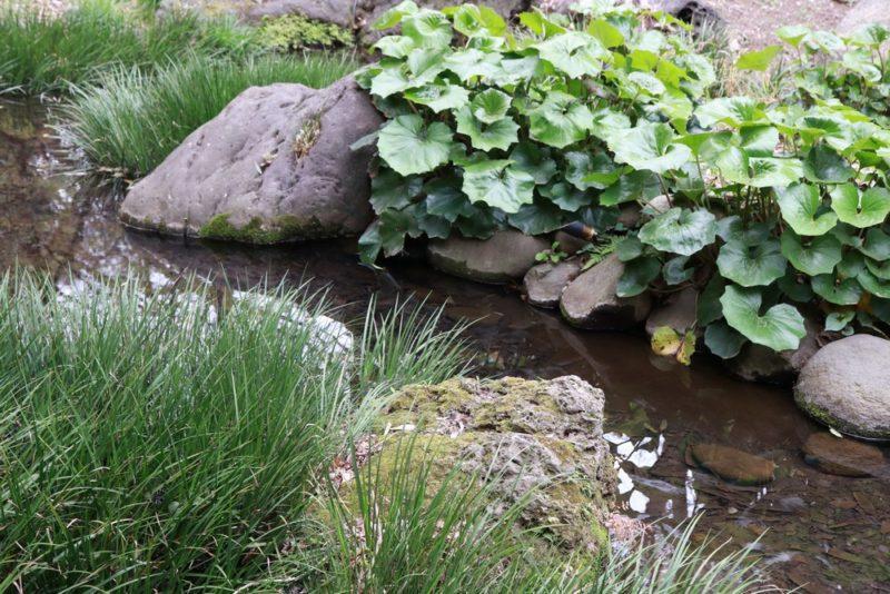 六義園の水辺に群生するツワブキ(石蕗)