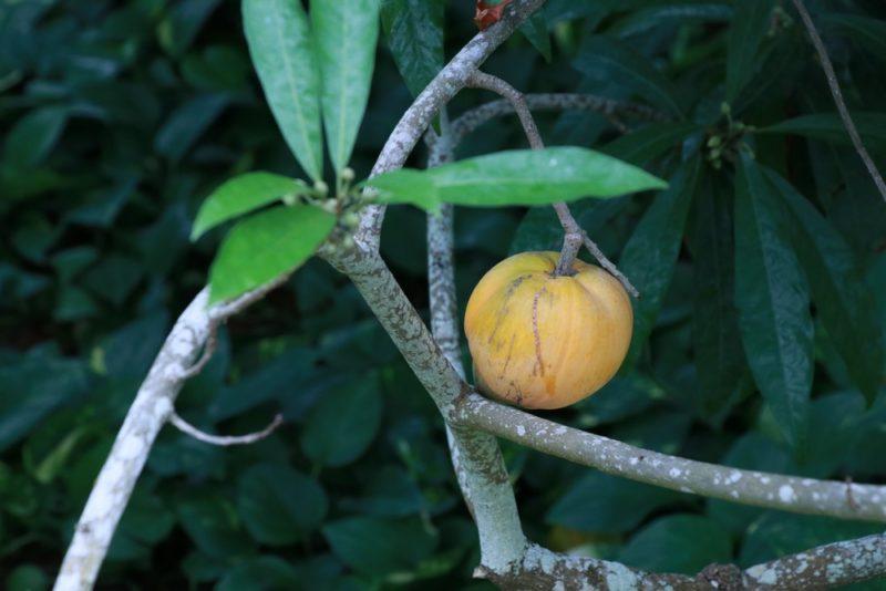 カニステルの果実。エッグフルーツやクダモノタマゴとも呼ばれる