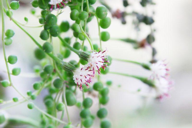 セネキオ・グリーンネックレスの花
