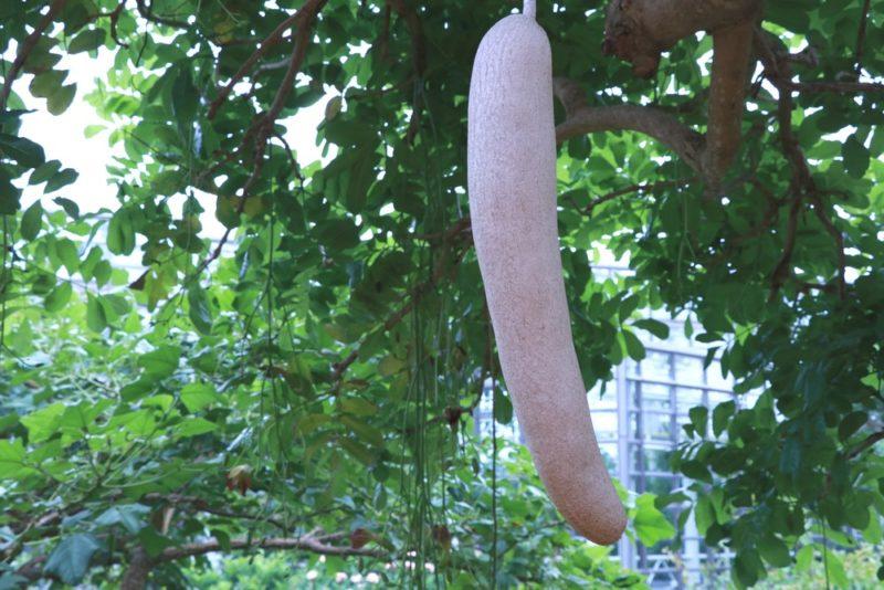 珍しいソーセージノキの果実。ソーセージのような見た目からそう呼ばれている。果実には毒がありアフリカでは薬用植物として利用されている