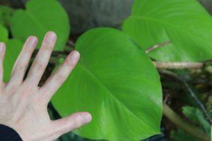 巨大化したポトス・ライムの葉と大人の手のひらの比較