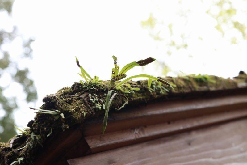 六義園の茅葺屋根に自生するノキシノブ(軒忍)