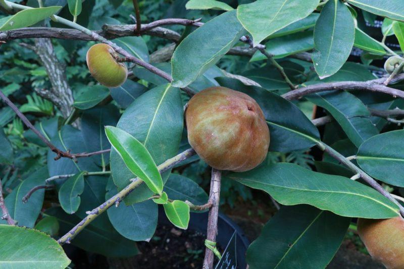 ケガキの果実。ケガキは柿の一種で果実はうぶ毛のようなもので覆われている