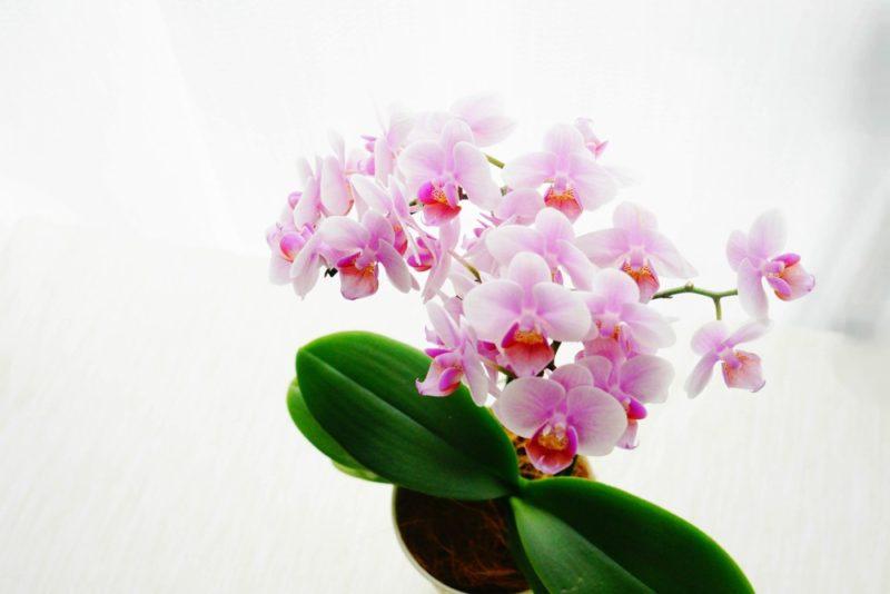 ピンク色の花を咲かせる胡蝶蘭の鉢植え