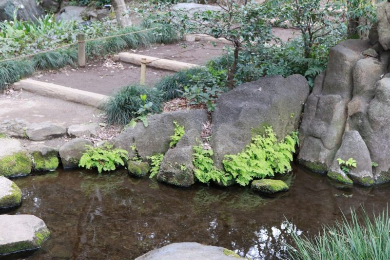 六義園の水辺に自生するホウライシダ
