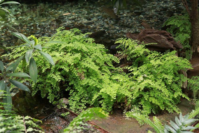 水辺に群生するシダ植物のアジアンタム