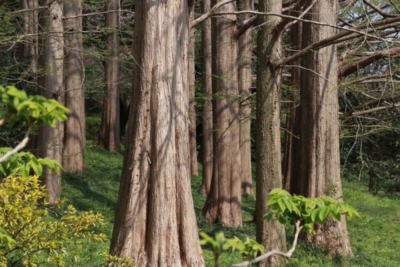 小石川植物園のメタセコイアの林