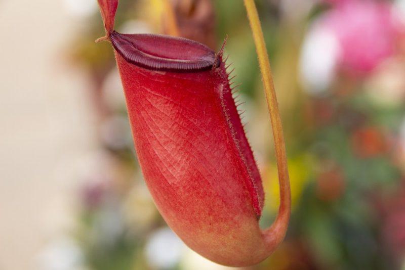 食虫植物ウツボカズラ(ネペンテス)の人気品種ネペンテス・レディラック
