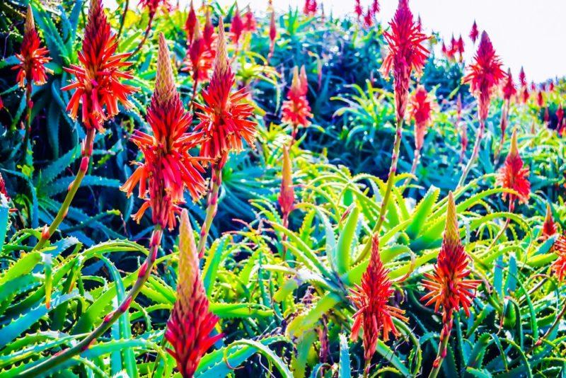 アロエは赤く派手な花を咲かせる。品種により黄色い花を咲かせるアロエもある