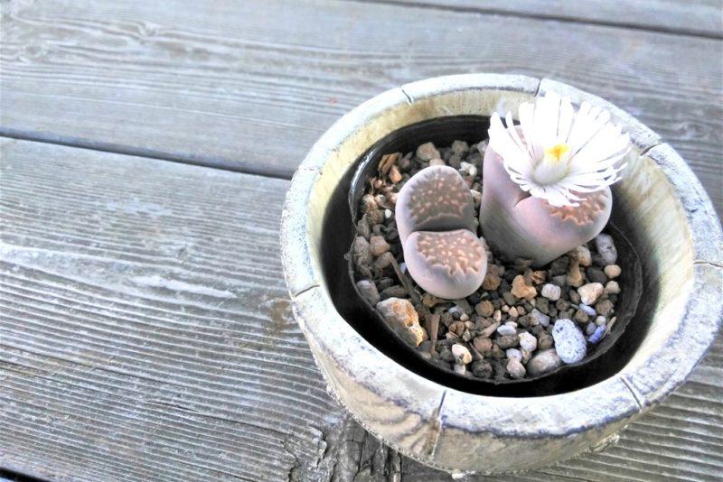 花を咲かせる多肉植物のリトープス