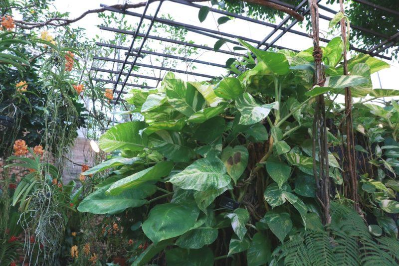 巨大化したゴールデンポトスの葉っぱ。よく見かけるポトスとは大違いの迫力