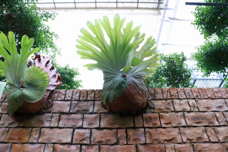 ビカクシダ・リドレイの大きな株。熱帯ドリームセンターの植物はどれも大きくて立派