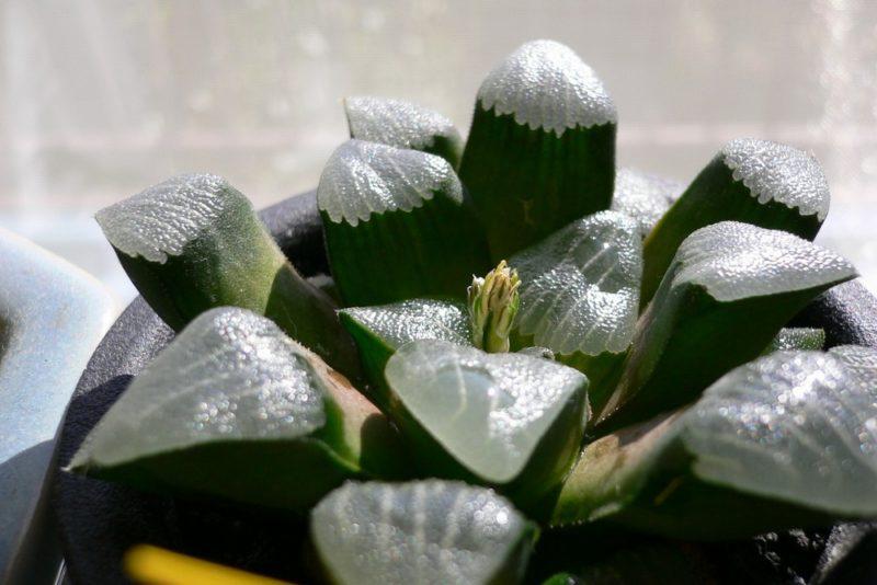 多肉植物のハオルチア・コレクタ