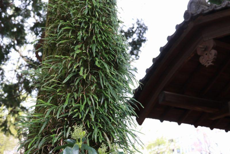 六義園の木の幹にびっしりと群生するノキシノブ(軒忍)