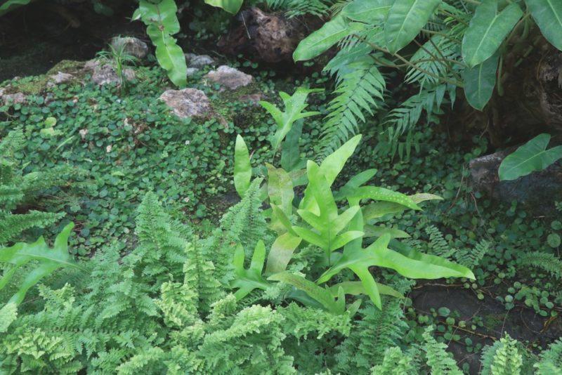 シダ植物のグラウンドカバー。温室内は湿度が高く半日陰の為シダ植物にとって理想の環境のようだ