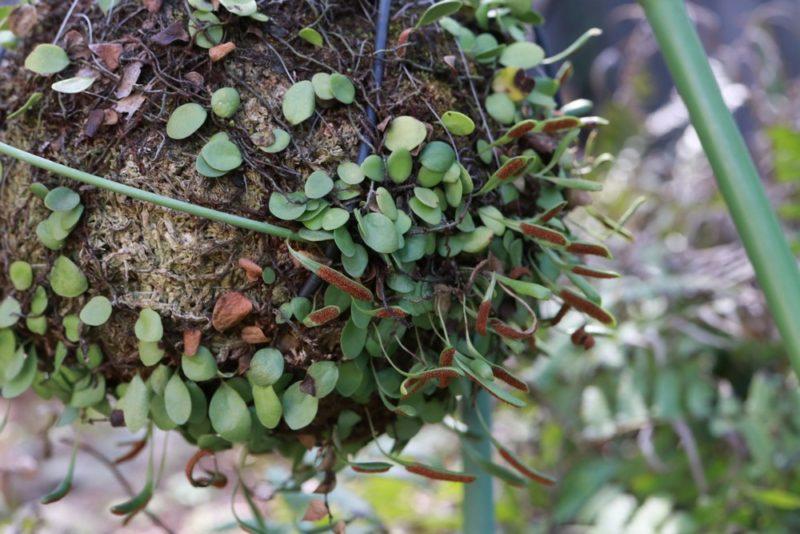 胞子葉を沢山付けた春先のマメヅタ