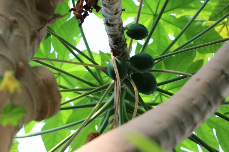 熱帯環境植物館に植えられたパパイヤの木。鈴なりに実を付けている