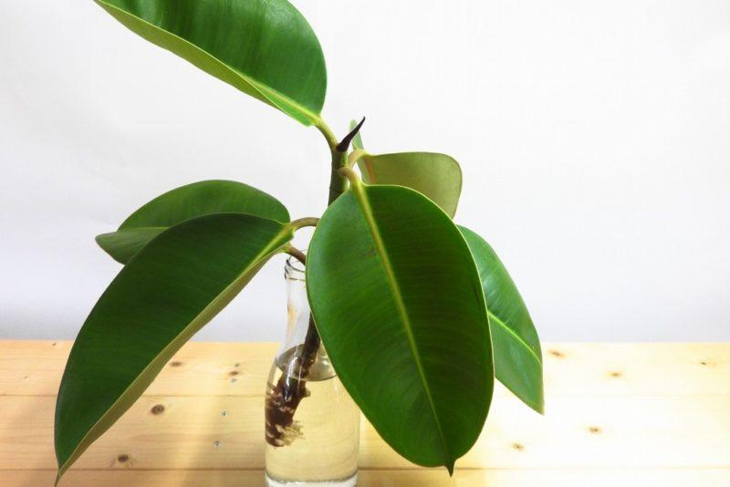 花瓶に挿したゴムノキ。ゴムの木は挿し木で増やす事ができる。
