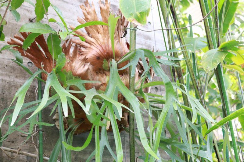 普通葉を長く垂らす大きく成長したビカクシダ