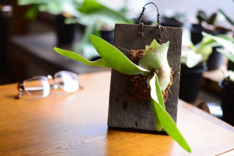 ヘゴ板に着生させたシダ植物のビカクシダ